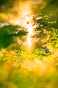朝のモミジ新緑と木もれ日の写真素材 [FYI01507496]