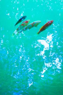鯉と水面の写真素材 [FYI01507511]