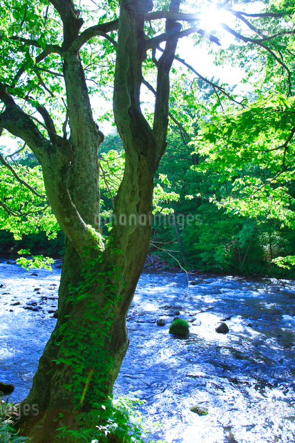 ケヤキの大木と清流の写真素材 [FYI01507599]