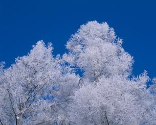 霧氷のカラマツ林の写真素材 [FYI01507630]