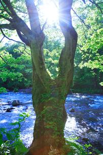 ケヤキの大木と清流の写真素材 [FYI01507662]