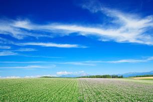 ジャガイモ畑と大雪山の写真素材 [FYI01507679]