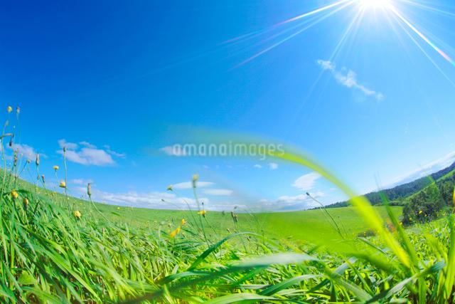 牧草と太陽の写真素材 [FYI01507692]