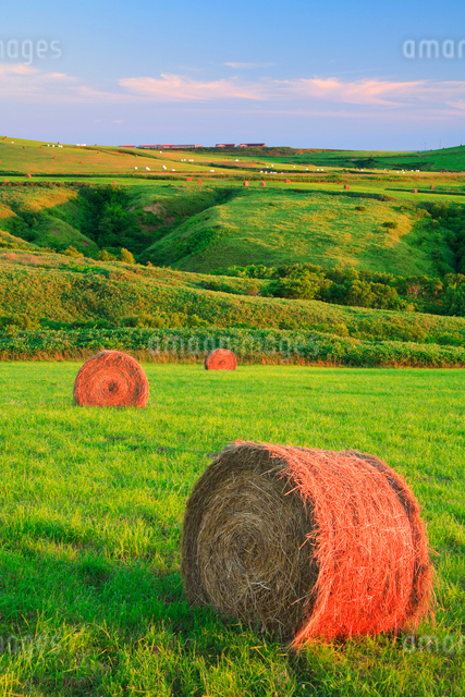 朝日に染まる牧草ロールの写真素材 [FYI01507745]