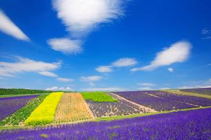 ラベンダーと菜の花畑の写真素材 [FYI01507820]