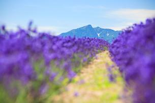 ラベンダーと芦別岳の写真素材 [FYI01507860]