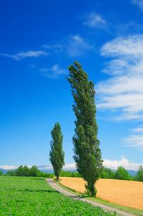 ジャガイモ畑とポプラ木立の写真素材 [FYI01507863]