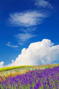 ラベンダーと菜の花畑と入道雲の写真素材 [FYI01507881]