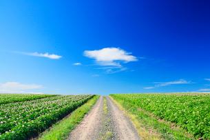 ジャガイモ畑と道の写真素材 [FYI01507955]