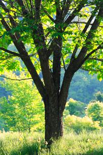新緑のモミジ木立の写真素材 [FYI01507962]