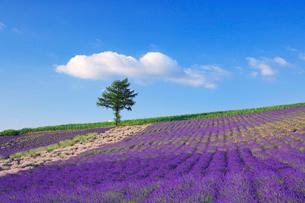 ラベンダー畑と木立の写真素材 [FYI01508020]