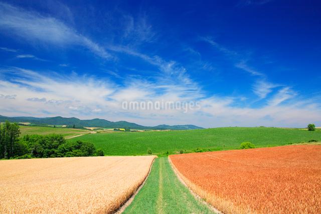 赤麦畑と小麦畑と道の写真素材 [FYI01508037]