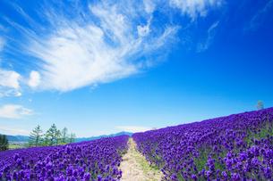 ラベンダー畑と遊歩道と芦別岳の写真素材 [FYI01508054]