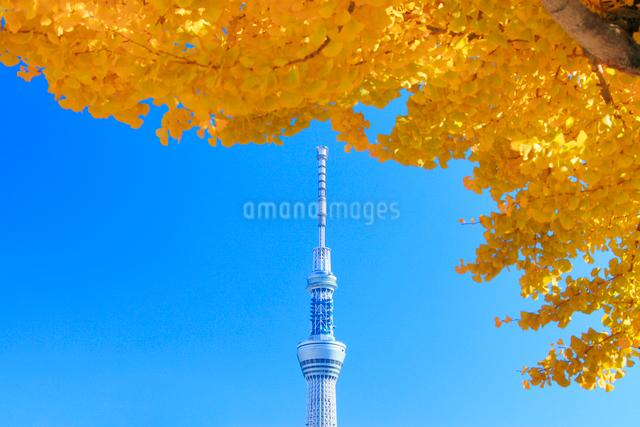 東京スカイツリーとイチョウの紅葉の写真素材 [FYI01508143]
