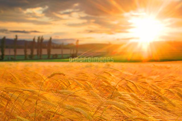ビール麦の穂と夕日の写真素材 [FYI01508267]