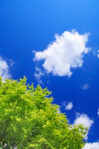 モミジの新緑と雲の写真素材 [FYI01508314]
