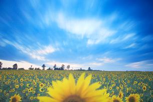 ヒマワリ畑と流れる雲の写真素材 [FYI01508339]