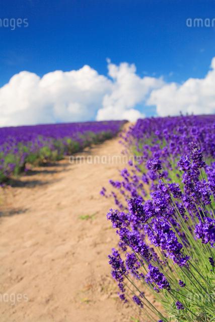 ラベンダー畑と遊歩道の写真素材 [FYI01508396]