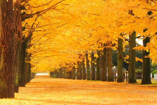 紅葉の銀杏並木と並木道の写真素材 [FYI01508430]