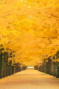 紅葉の銀杏並木と並木道の写真素材 [FYI01508518]