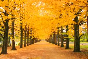 紅葉の銀杏並木と並木道の写真素材 [FYI01508521]