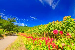 ヒマワリ畑と道路と独鈷山の写真素材 [FYI01508547]