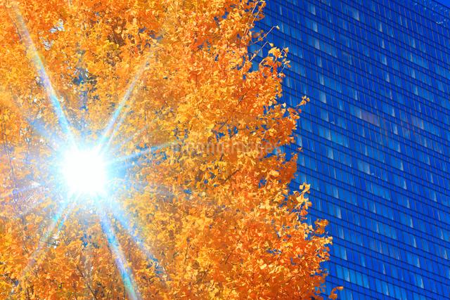 イチョウの紅葉とビルと木もれ日の写真素材 [FYI01508575]