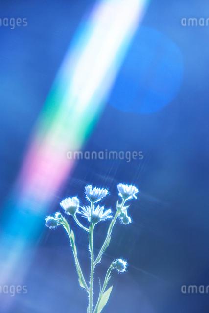 ヒメジョオンと朝の光の写真素材 [FYI01508591]