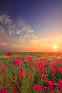 コスモス畑と田園と朝霧と朝日と浅間山の写真素材 [FYI01508628]