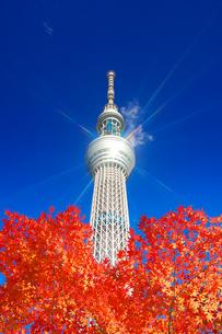 モミジの紅葉と東京スカイツリー,合成写真の写真素材 [FYI01508868]