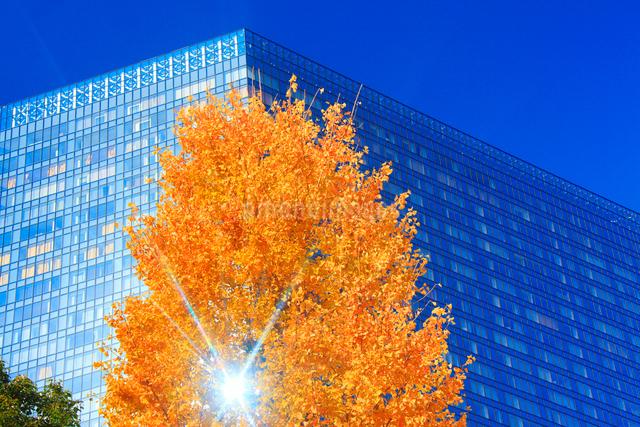 イチョウの紅葉とビルと木もれ日の写真素材 [FYI01509078]