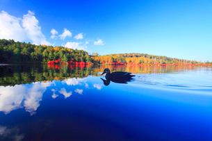 水鏡のドウダンツツジなどの紅葉の樹林とカモの写真素材 [FYI01509189]