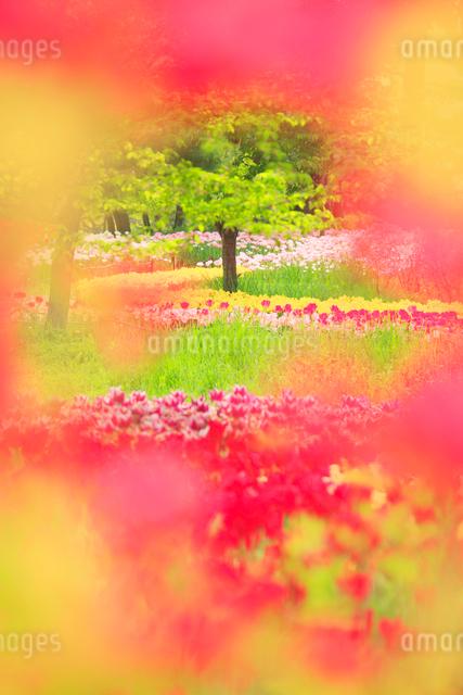 チューリップ畑の写真素材 [FYI01509290]