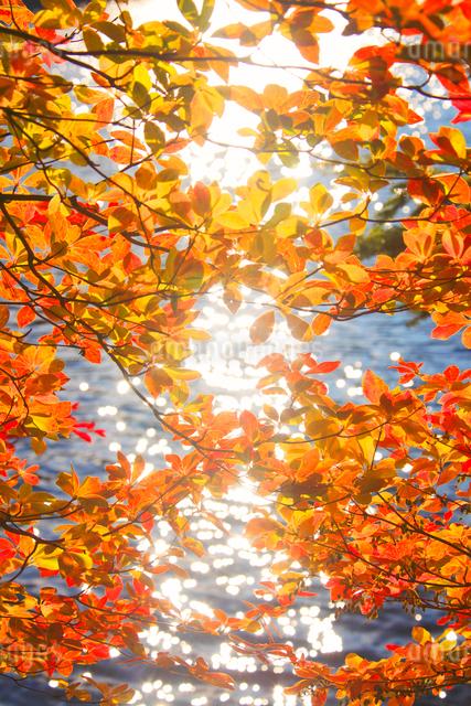 ドウダンツツジの紅葉と輝く水面の写真素材 [FYI01509315]