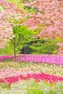 八重桜とチューリップ畑の写真素材 [FYI01509331]