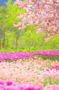 八重桜とチューリップ畑の写真素材 [FYI01509420]