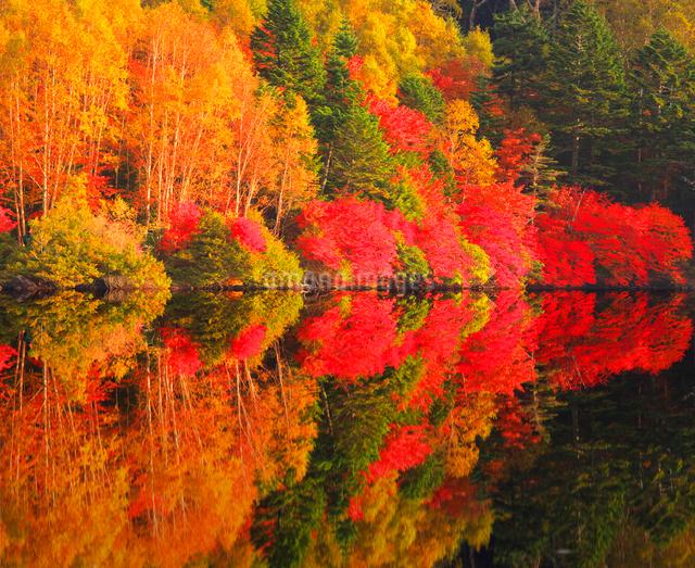 水鏡のドウダンツツジなどの紅葉の樹林の写真素材 [FYI01509429]