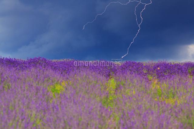 ラベンダーの花畑と飛行機に落ちる雷の写真素材 [FYI01509464]