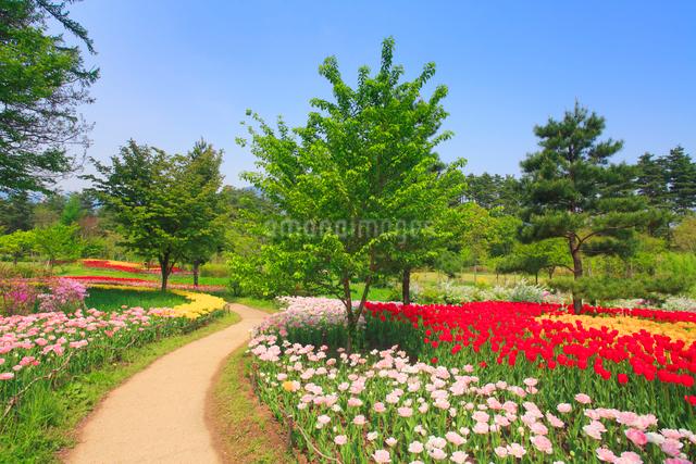 チューリップ畑と遊歩道の写真素材 [FYI01509560]