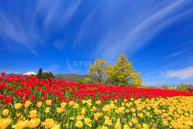 チューリップ畑と常念岳と太陽の光芒の写真素材 [FYI01509563]