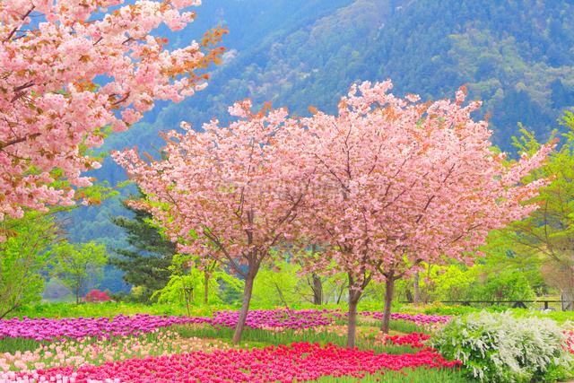 八重桜とチューリップ畑の写真素材 [FYI01509589]
