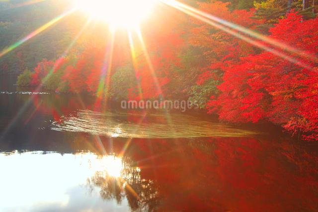 水鏡のドウダンツツジなどの紅葉の樹林と夕日の木もれ日の光芒の写真素材 [FYI01509619]
