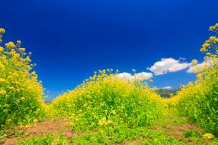 菜の花畑と遊歩道の分かれ道の写真素材 [FYI01509672]