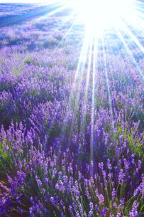 ラベンダーの花畑と太陽の光芒の写真素材 [FYI01509678]