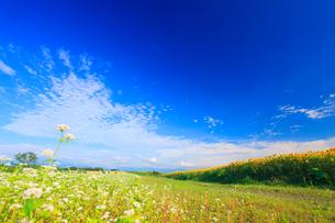 ソバとヒマワリの花畑と道路の写真素材 [FYI01509681]
