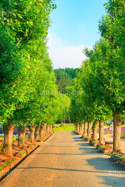 朝のポプラ並木とラベンダーなどの花畑の写真素材 [FYI01509688]