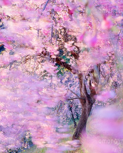 風に揺れるベニヤエシダレの写真素材 [FYI01509694]