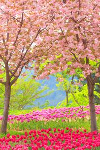 八重桜とチューリップ畑の写真素材 [FYI01509738]