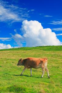 ジャージー種の牛と牧草地の写真素材 [FYI01509743]