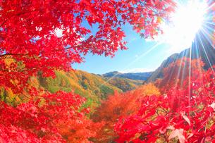 紅葉のモミジの林と太陽の光芒と萱野高原方向の山並みの写真素材 [FYI01509754]
